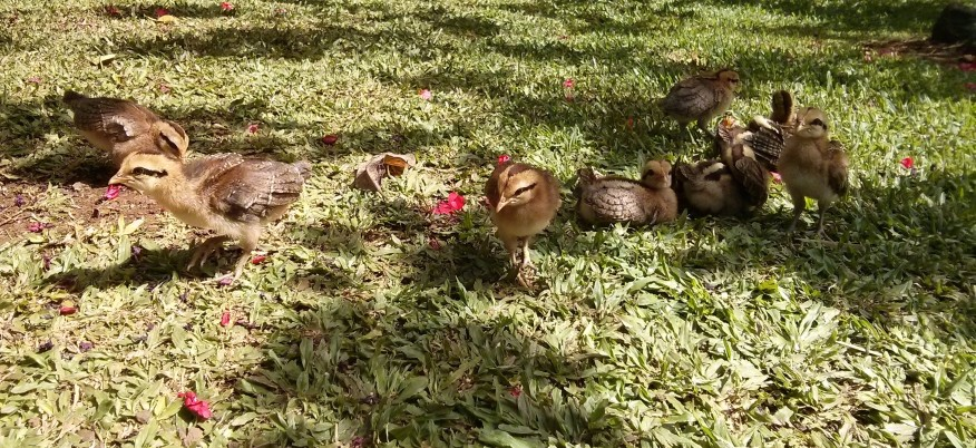 Baby chickens! :D