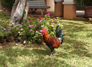 These roosters were EVERYWHERE
