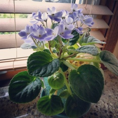 African violet loving it's new home by the kitchen sink.