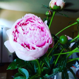 Peonies from my backyard.